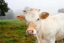 Vache Dans Une Pâture Par Tem...