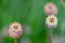 Poppy Seed Heads Macro Photogr...