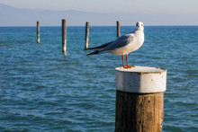 Seagull Standing On A Wooden P...
