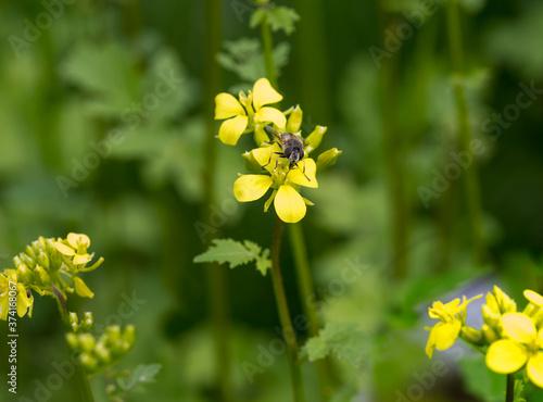 Fotografia, Obraz Mustard blooms