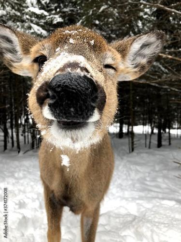 deer in the snow Poster Mural XXL