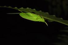 Horn Katydid On Leaf In Night ...