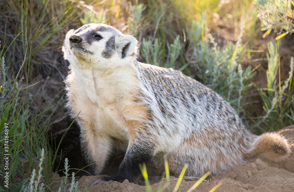 Fototapeta Badger in the wild