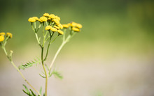 Yellow Tansy Flowers On Blurre...