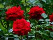 Czerwone róże z kolcami