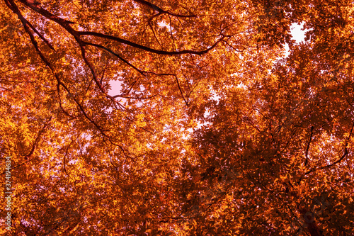 Fototapety, obrazy: Colorful autumn treetops in fall forest with light sky and sun shining though trees. Sky and sunshine through the autumn tree branches from below. Yellow autumn trees from beneath. Autumn foliage