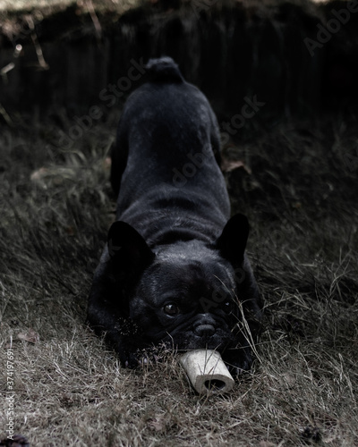 Fototapeta playfull french bulldog dog chewing on a bone in the yar on grass