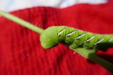 Tomato Hornworm Caterpillar Wi...