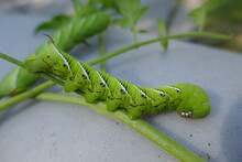 Tomato Hornworm Large Caterpil...