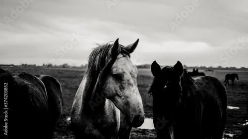 Dutch horse Canvas