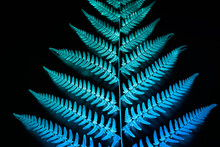 Blue Neon Glowing Fern Leaf On Black Background. Photo With Applied Inverted Color Effect.