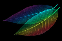 Two Bright Colorful Skeletons Of Leaves On A Black Isolated Background.