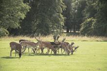 Herd Of Deer Grazing Grass