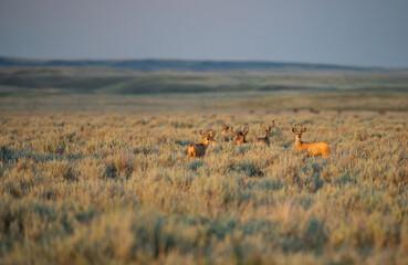 Pronghorn in the prairies