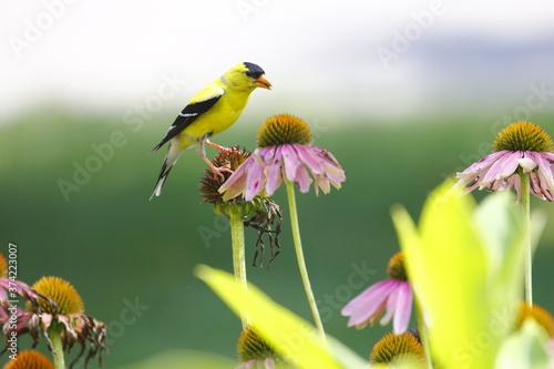 Obraz na plátne Goldfinch on Coneflower