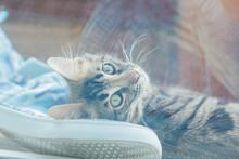 Cute Golden Bengal Kitty Cat L...