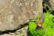 羽根を広げて飛ぶカワ...