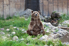 Grizzly Bear Yoga Pose