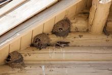 Nesting Mud Swallows
