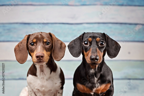 Foto Dachshunds in the studio