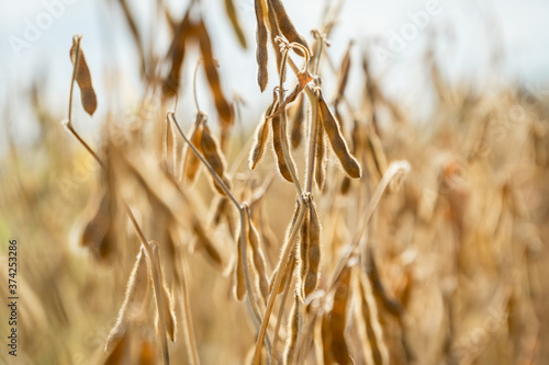 Ripe soybeans ready for harvesting on a farmer's field. Fototapet