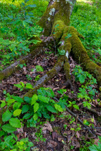 Roots And Tree Trunks In The Forest That We Celebrate In Our Vacation