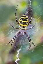 Argiope Bruennichi (wasp Spide...