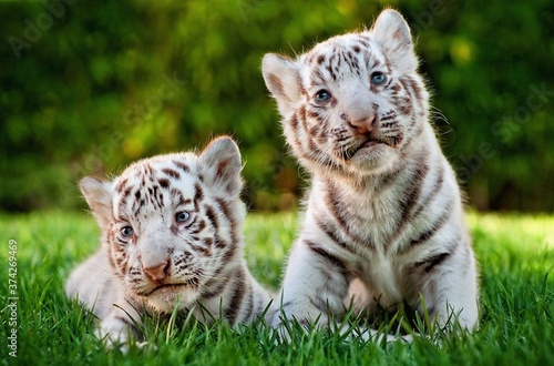 Photo Kitten tiger, Sit on green grass, White tiger.