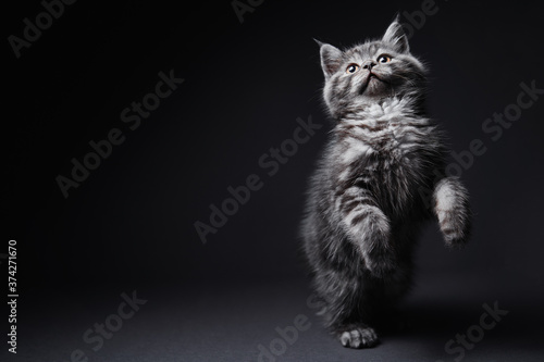 Photo Studio shot of adorable scottish black tabby kitten on dark background