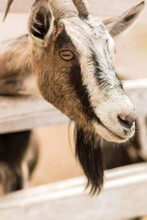 Young Brown Farm Goat Stick Its Head Through Ranch Fence And Looking Away