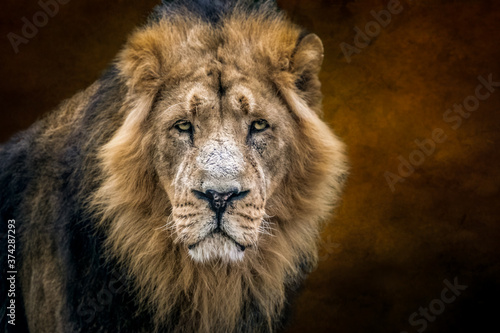 Obraz na plátně portrait of a lion