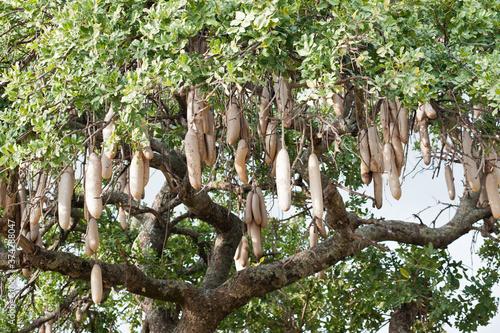 Photo Fruits of Kigelia africana (sausage tree). Kenya. Africa