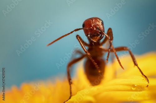 Macro shot of ant on a yellow wildflower Billede på lærred