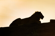Silhouette Of A Lion During Su...