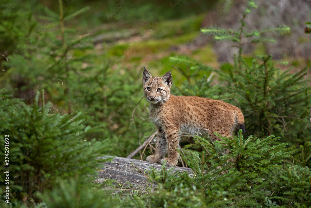 Eurasian lynx, hiding in the forest. Cute lynx living in the wood. Small lynx check surroundings. Rare predator in European nature