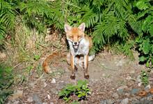Female Fox Relaxing In The Sun...