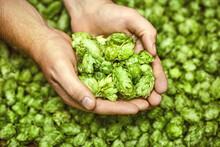 Green Hops For Beer. Man Holdi...