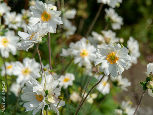 Photo Pretty bright white anemone flowers blooming in a summer garden