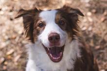 The Smiling Australian Shepherd