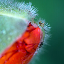 Close Up From An Opening Poppy...