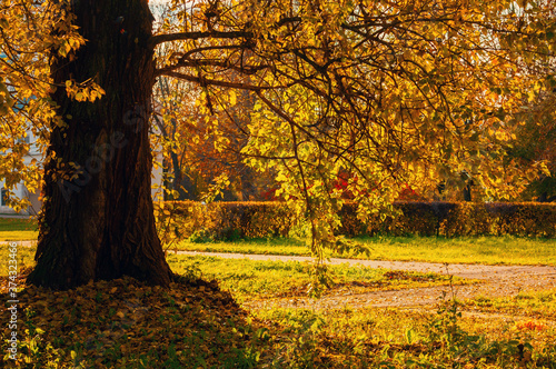 Fototapety, obrazy: Fall landscape. Fall trees with yellow foliage in the city October park
