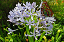 Pearly Malachite Butterfly On Agapanthus Africanus Albus Flowers