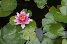 A Water Lily Flower Grows In A Reservoir Among Green Leaves Against A Background Of Black Water. Close-up.