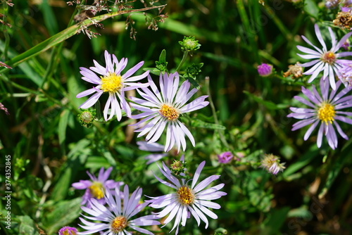 Fototapeta Purple aster wild flowers in bloom in Grand Teton National Park