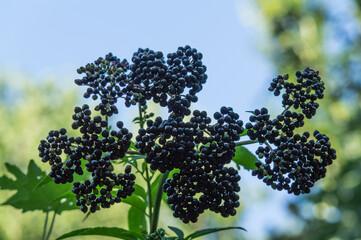 czarny bez owoce drzewo natura