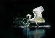 Snowy White Egret Splashing Water While Fishing