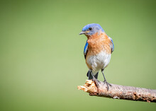Young Male North Carolina Blue Bird Looking Left