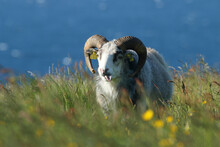 A Large Ram With Big Horns Showing Its Tongue On Runde Island, Norway.