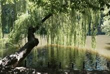 Beautiful Tree Salix Babylonic...
