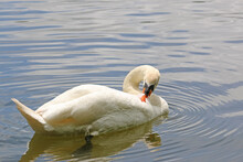 Swan Preening Its Feathers On A Lake